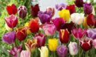 Plant a wide selection spring flowering bulbs this autumn including Triumph Tulips (pictured).