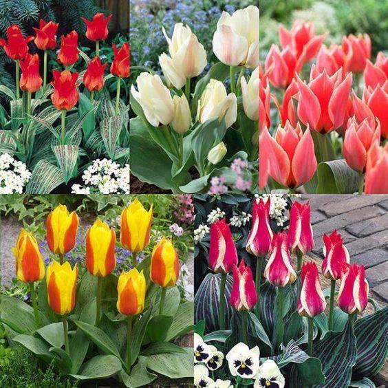 Dwarf Greigii tulips