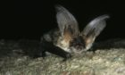 Long-eared bats - one of the three species allegedly impacted by Mills Contractors Ltd at a site in Dunkeld