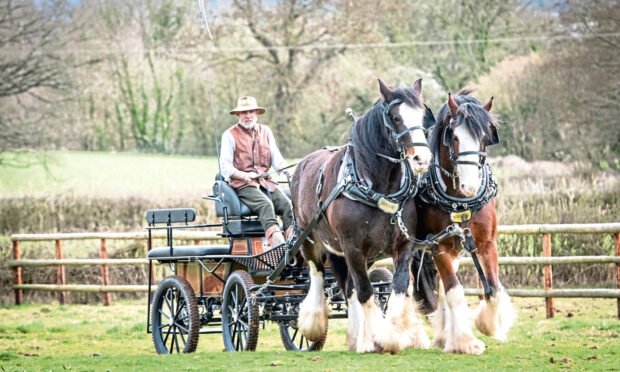 Jamie Alcock driving his two Shire horses.