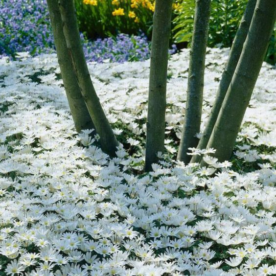 Anemone blanda White Splendour (sized).jpg