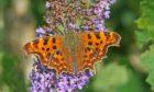 The butterflies love buddleia flowers