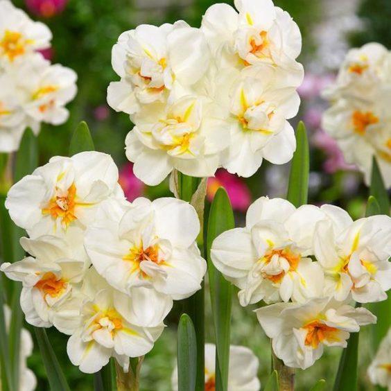 Daffodil Winston Churchill
