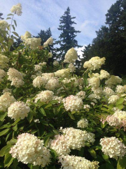 Brian Cunningham's Hydrangea plants.