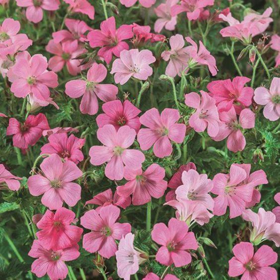 Geranium Rose Clair