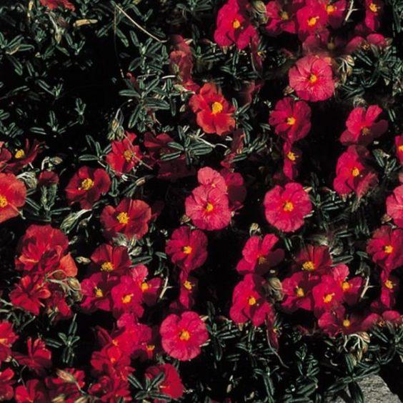 Red Helianthemum