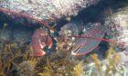 Lobster sheltering in the East Neuk