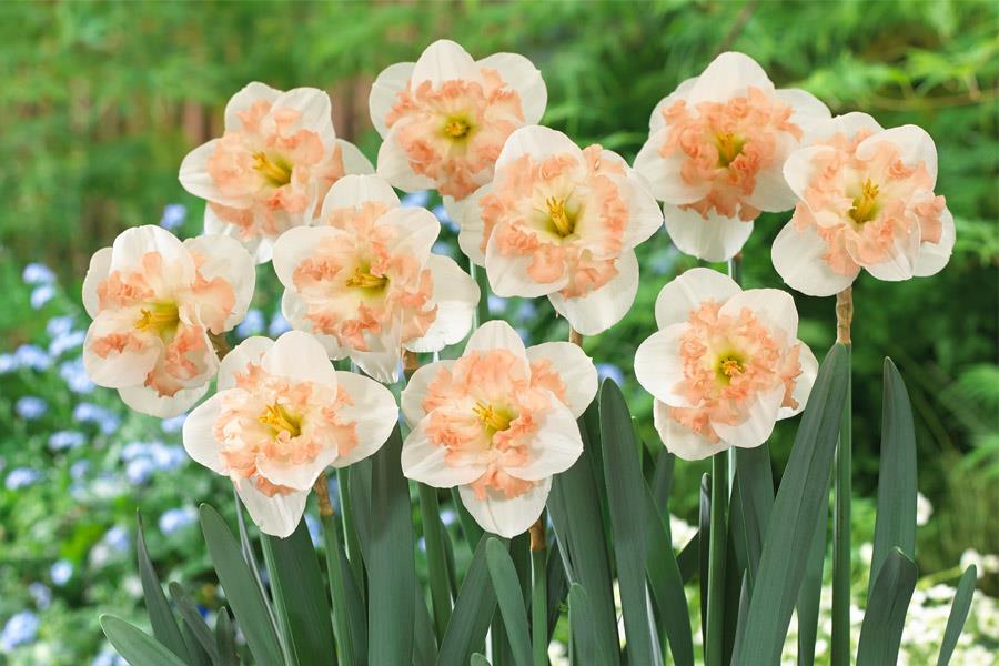 Pink Wonder plant
