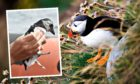 Call for public to help conserve dwindling puffin population along Fife coast.