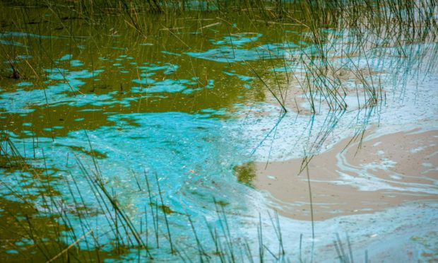 Toxic blue green algae.