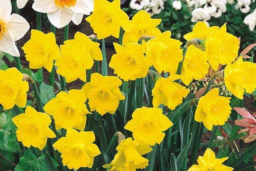 Tenby Daffodils