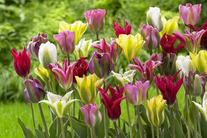 Tulip Viridiflora