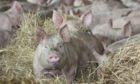 The NPA says more than 120,000 pigs are waiting for slaughter on British farms.