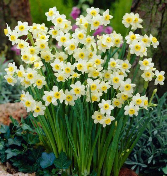 Minnow Daffodils.