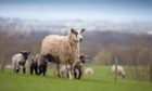 Sheep and lambs in a field in North Yorkshire, England, United Kingdom; Shutterstock ID 1080181898; Purchase Order: Press and Journal; Job: Farming; b4ff9ffd-72e3-44c1-8778-39c56633ebbe
