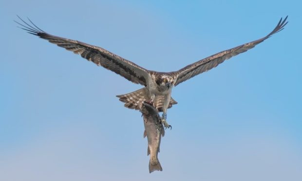 Male bird KR3 carries a giant trout to the Balgavies nest. Pic: Darren Dawson.