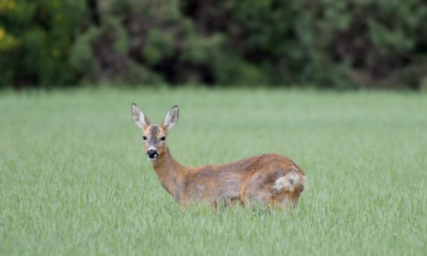 Deer populations have rocketed in recent years and are linked with an increase in Lyme-disease carrying ticks.