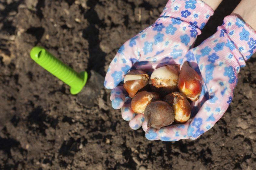 Bulbs gardening