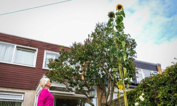 sunflower fife
