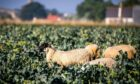 Waste: Sheep feed on high-quality broccoli in Fife, which cannot be harvested due to a shortage of labour.