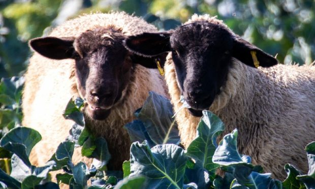 Sheep eating all the broccoli which cannot be harvested due to a shortage of drivers and field workers.