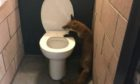 A fox was trapped in Dens Park. Photo supplied by the SSPCA.