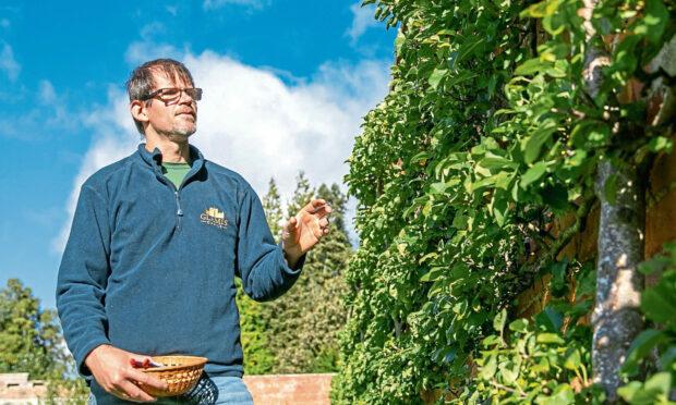 Glamis Castle's head gardener Des Cotton picks some apples in the walled garden. Picture: Kim Cessford.