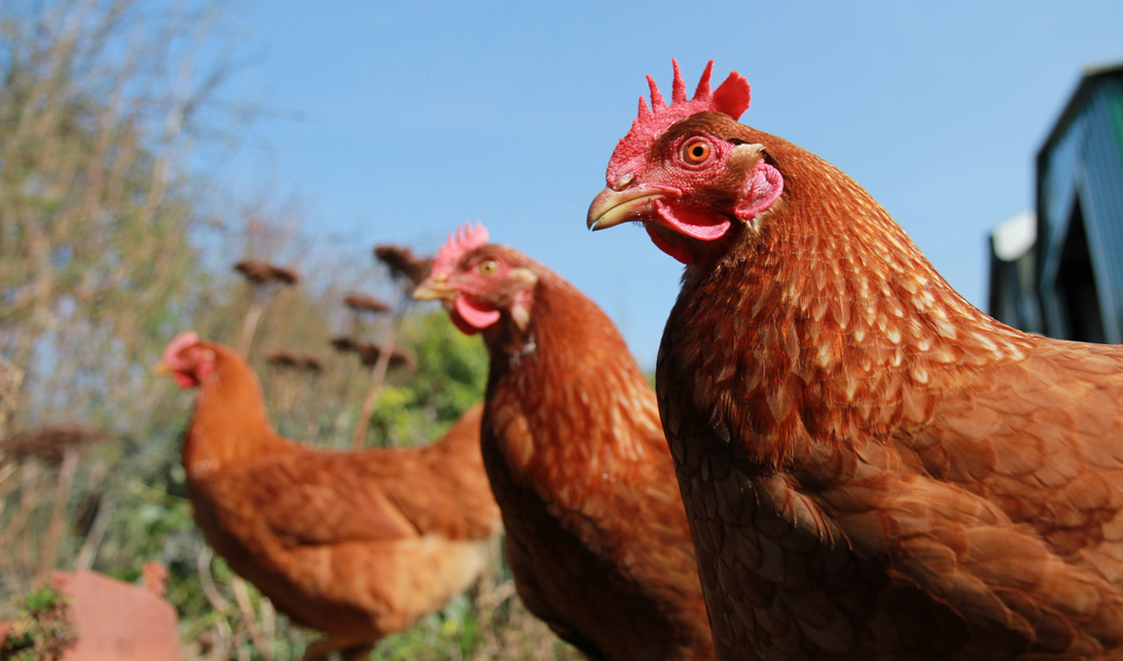Chicken poo could be new renewable energy source