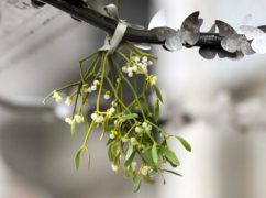 Real Christmas trees and mistletoe are on the wane in British homes at Christmas, a survey found (Anthony Devlin/PA)