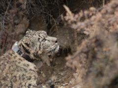 Zeborong walks away after a successful collaring (DNPWC/WWF Nepal/PA)
