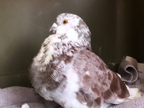The pigeon was discovered on a bus in Dumfries (Scottish SPCA/PA)