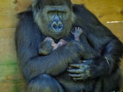 Kala, a western lowland gorilla, with her baby, which she gave birth to in August (Ben Birchall/PA)
