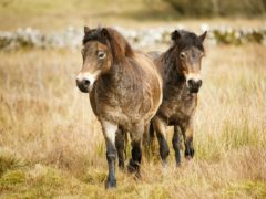 Exmoor ponies Reddycombe and Cannerhaugh are released near Malham Tarn in the Yorkshire Dales as part of a conservation project (Danny Lawson/PA)