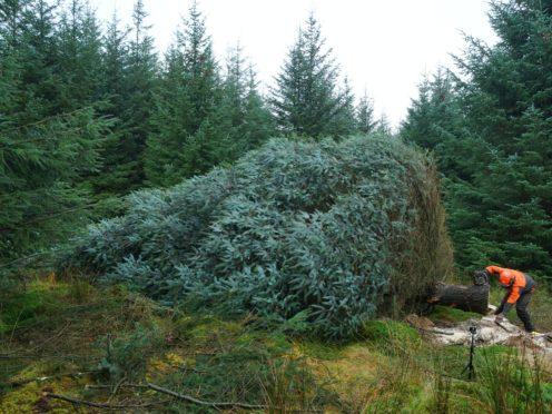 Steve Orton felled the tree (Owen Humphreys/PA)