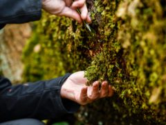 Careful removal of the endangered lungwort lichen for translocation (Stuart Walker/National Trust/PA)