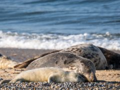 40% of the world's grey seals are in Britain and Ireland (National Trust Images/Hanne Siebers/PA)