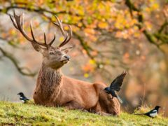 Magpies and crows surround a resting stag as they feed on ticks from the fur of the deer herd roaming on the Ashton Court Estate, Bristol, in crisp and cold Autumnal weather (PA)