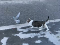 Larry the Cat stalking a pigeon on Downing Street (Luke Powell/PA)