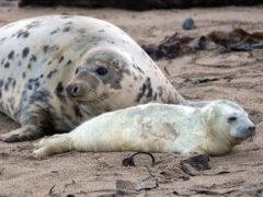 Seal and pup on the Farne Islands in the North Sea off the coast of Northumberland (Owen Humphreys/PA)