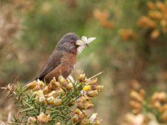 Dartford warblers had a good year following the mild winter (Martin Bennett/National Trust/PA)