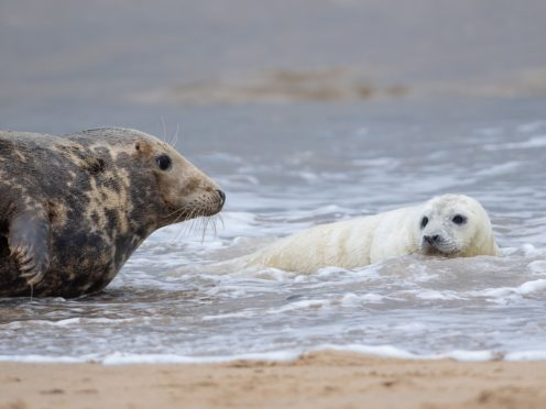 The seal colony in Horsey in Norfolk is popular with wildlife watchers (Joe Giddens/ PA)