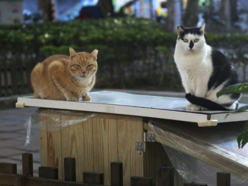 Street cats Pipi, right, and Laoda (boss) sit on the roof of a Midnight Cafeteria in Taipei, Taiwan (Chiang Ying-ying/AP)