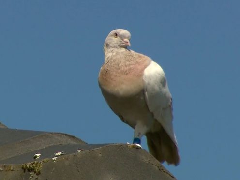 The racing pigeon sits on a rooftop in Melbourne, Australia (Channel 9/AP)