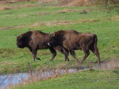 Bison at Slikken van de Heen nature reserve in Zeeland, Netherlands (Amanda Fegan/PA)