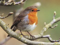 Robins are among the most popular garden birds (Andy Hay/RSPB/PA)