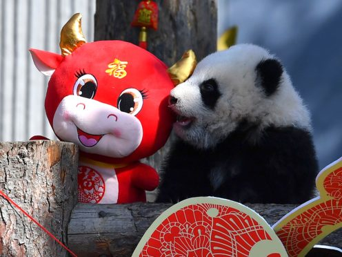 A baby panda climbs on a display for the upcoming Lunar New Year of the Ox at the China Conservation and Research Centre for the Giant Panda in Sichuan province (Chinatopix via AP)