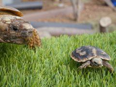 A mini pancake tortoise (Longleat/PA)