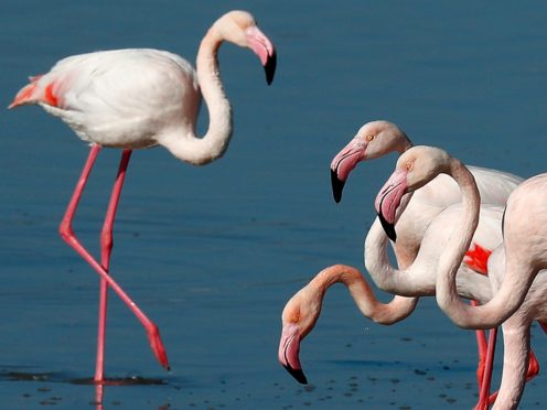 Flamingos at a salt lake in the southern coastal city of Larnaca, Cyprus (Petros Karadjias/AP)
