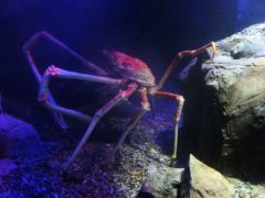 A Japanese Spider crab (Dave Thompson/PA)