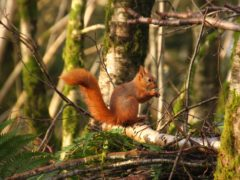 NTS manages woodlands to protect red squirrels (National Trust for Scotland/PA)